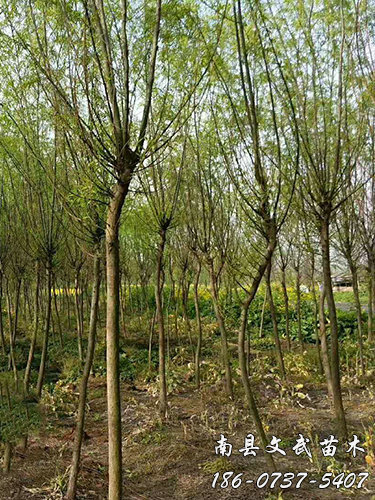 Weeping willow seedlings base_other green seedlings are good-Nanxian Wenwu Seedlings Professional Cooperative