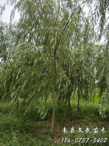 Metasequoia 4 cm_10 cm Other green seedling prices-Nanxian Wenwu Seedling Planting Cooperative