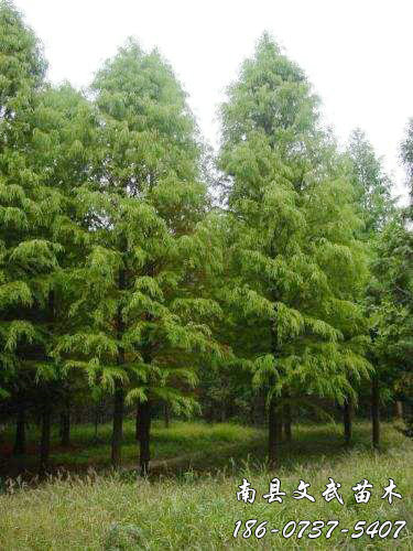 Zhongshan fir seedling supply_Where are the prices of other green seedlings-Nanxian Wenwu seedling professional cooperatives