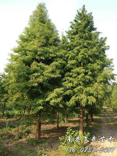 We recommend Metasequoia seeds _ 6 cm Metasequoia related money-Nanxian Wenwu Seedling Planting Cooperative