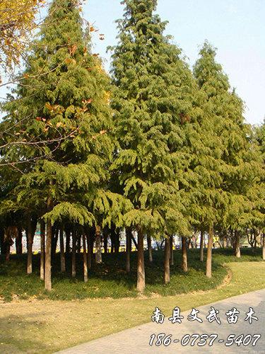 云南 池 杉 _10cm Other green seedlings for sale-Nanxian Wenwu Seedlings Professional Cooperative