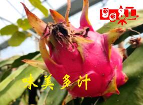 优质红心火龙果价格_红心火龙果价格相关-绍兴市汇林农业开发有限公司
