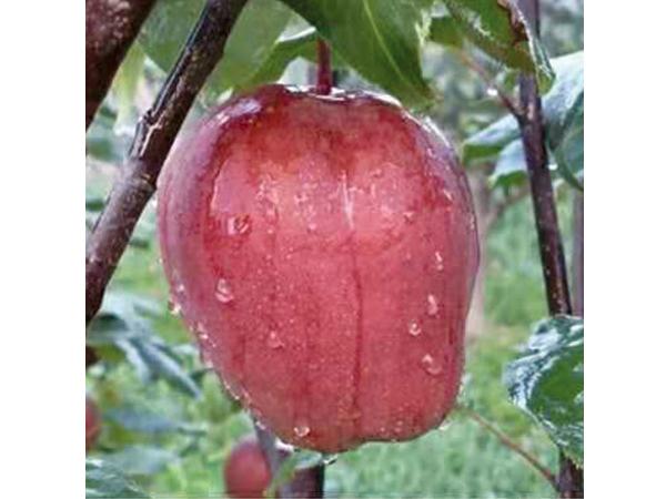 高品质湖北全红苹果梨_果树种植-内黄县中召乡圆梦家庭农场