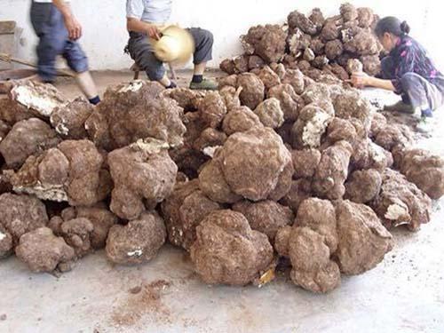 重庆茯苓种植方法_其他种子、种苗种植基地-湖南科星食药菌有限责任公司