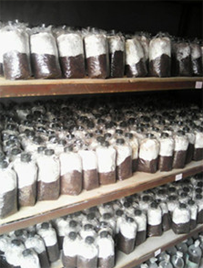 高品质灵芝菌种批发商_灵芝种报价相关-湖南科星食药菌有限责任公司