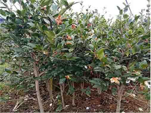 江西油茶大树苗价格_进口农作物种子销售电话-攸县新兰苗木培育专业合作社