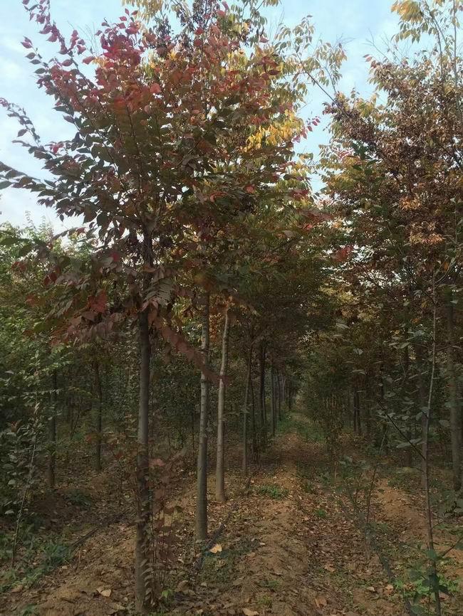 质量好榉树价格_8公分种植基地-洛阳新四季农业有限公司