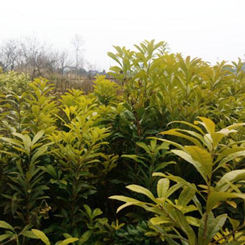 杨梅苗哪里有卖_提供果树价格-湖南省安江农校种苗中心