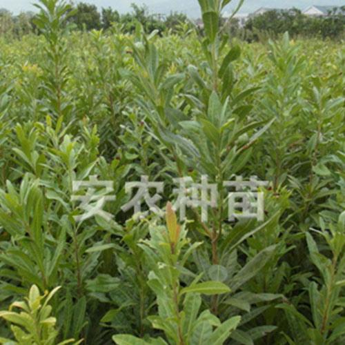 软枣猕猴桃苗3年生价格_专业果树出售-湖南省安江农校种苗中心