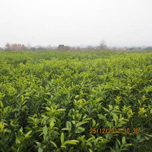 明日见柑橘树苗价格_专业果树厂家-湖南省安江农校种苗中心