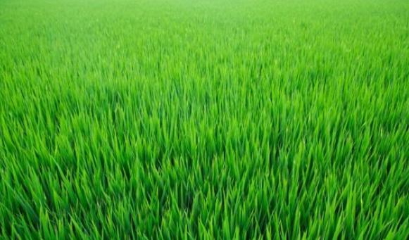 水稻育苗_诚信经营花卉种子、种苗-青州市盛禾育苗基质厂