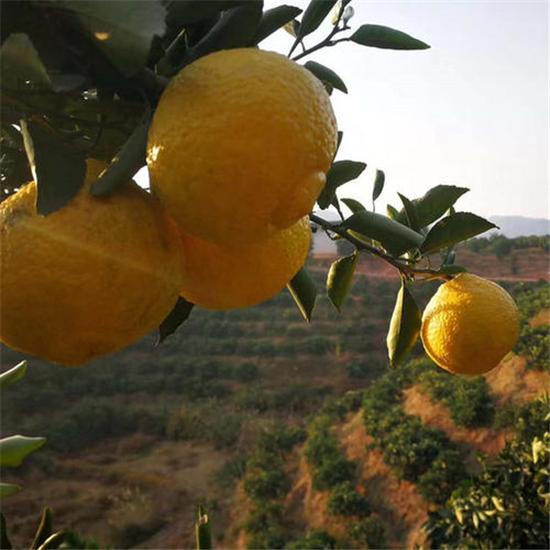 怀化黄金贡柚树苗价格_超低价果树-洪江市诚兴水果苗木