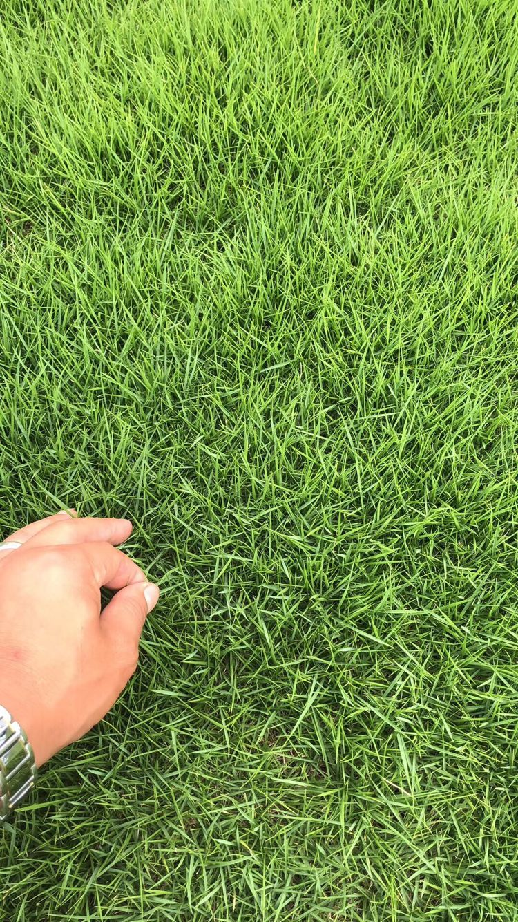 濟南蘭引3號草坪種植基地_人造草坪相關-句容市后白鎮綠葉青草坪種植基地