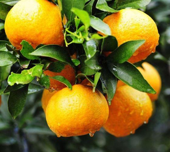 阆中市双旭柑橘种植专业合作社