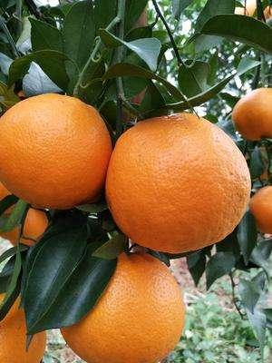 阆中特产白糖蒸馍_阆中批发-阆中市双旭柑橘种植专业合作社