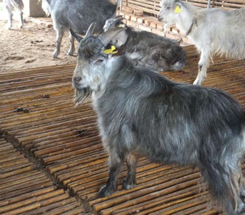 三门峡口碑好的青山羊价格_口碑好的畜牧、养殖业机械繁育基地-垦利区垦利街道恒有畜牧养殖中心