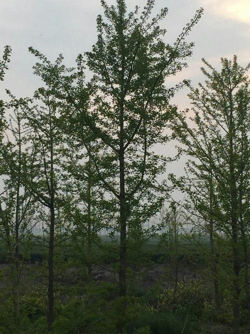 质量好银杏树_银杏果相关-东台市新街镇海川苗圃