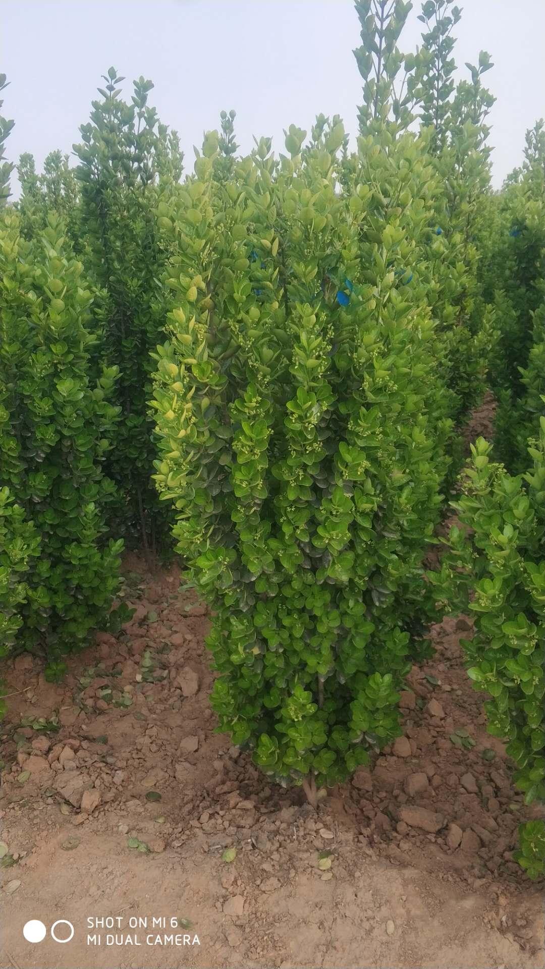 北海道黄杨多少钱一棵_2.2米花卉种子、种苗多少钱一棵-偃师市邙岭乡常绿苗圃