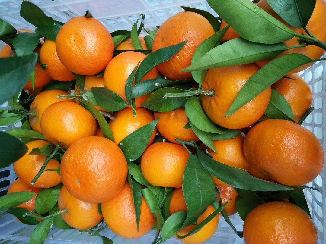 口碑好的沃柑苗價格_沃柑的功效相關-閬中市雙旭柑橘種植專業合作社