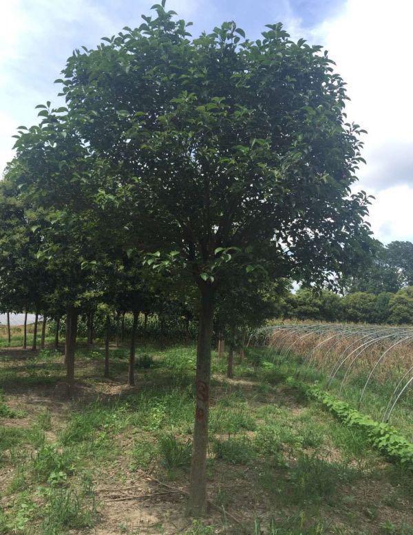 专业银杏树哪家好_银杏树多少钱一棵相关-东台市新街镇海川苗圃