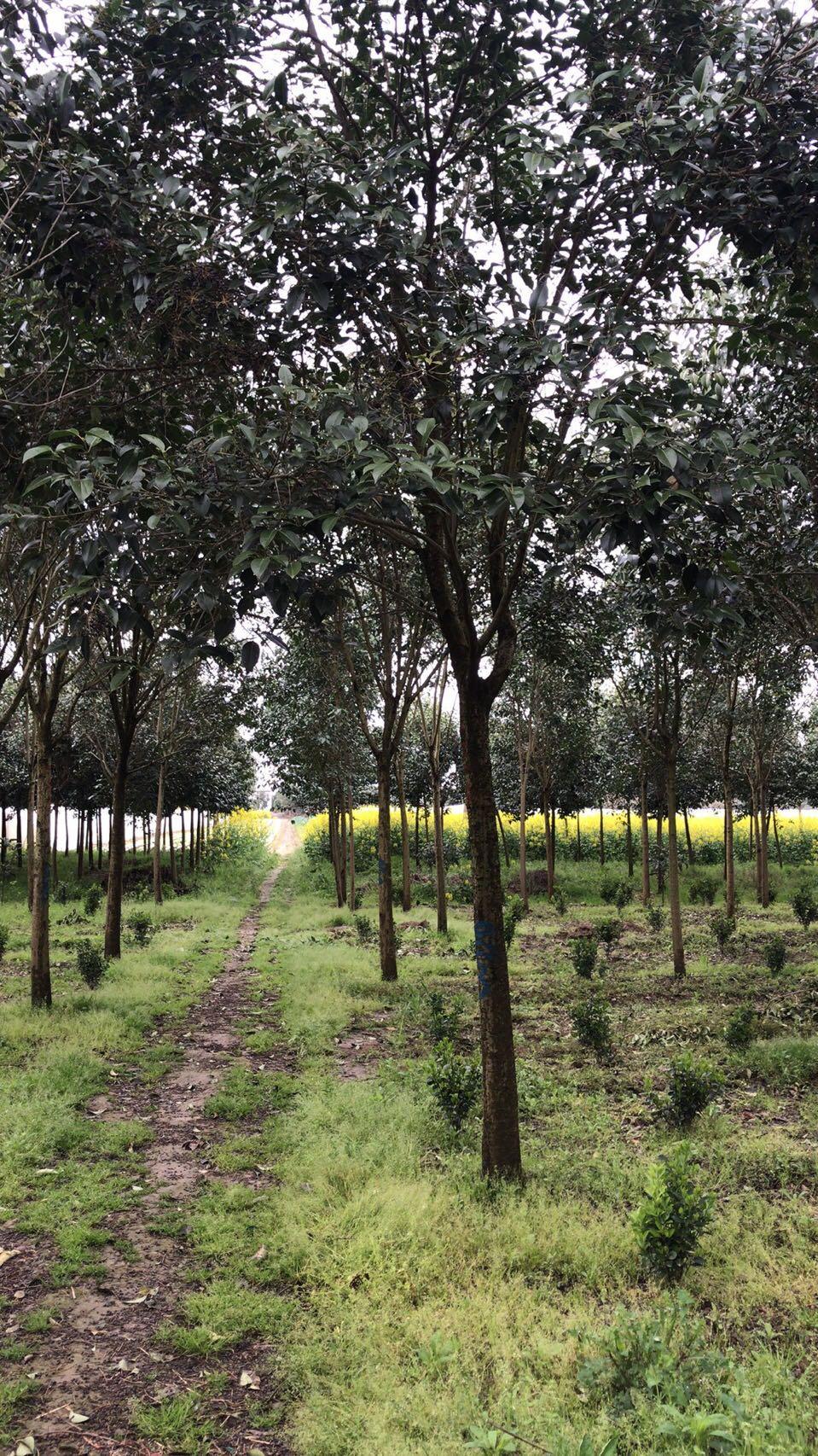 银杏树销售电话_银杏树多少钱一棵相关-东台市新街镇海川苗圃