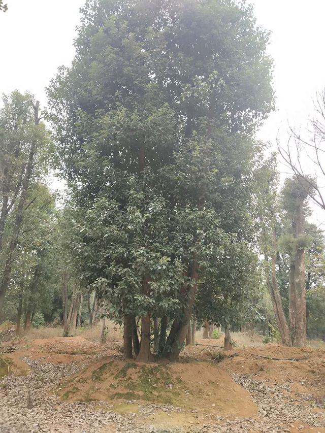 多杆香樟哪家好_ 香樟树种植基地相关-益阳市资阳区湘顺园林基地