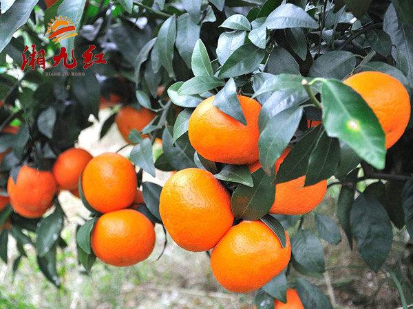 哪里有柑橘苗卖_湖南石门价格-湖南湘九红农业科技有限公司