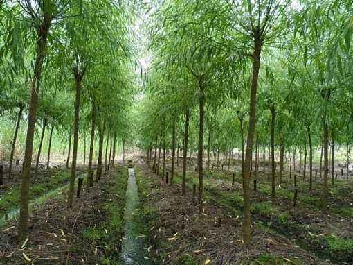 北京求购柳树多少钱_求购苗批发-滨州永信园林有限公司
