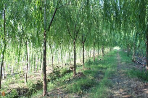 天津质量好白蜡厂家_白蜡价格相关-滨州永信园林有限公司