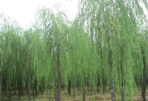 新疆哪里有白蜡厂家_质量好树木盆景多少钱-滨州永信园林有限公司