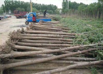 新疆提供白蜡价格_哪里有树木盆景批发-滨州永信园林有限公司