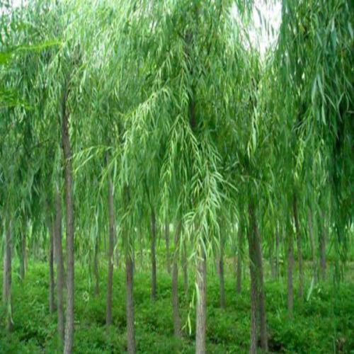 青海提供白蜡_哪里有树木盆景批发-滨州永信园林有限公司