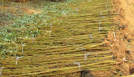 新疆质量好白蜡批发_专业树木盆景价格-滨州永信园林有限公司