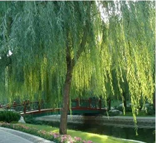 北京提供白蜡批发_提供树木盆景-滨州永信园林有限公司