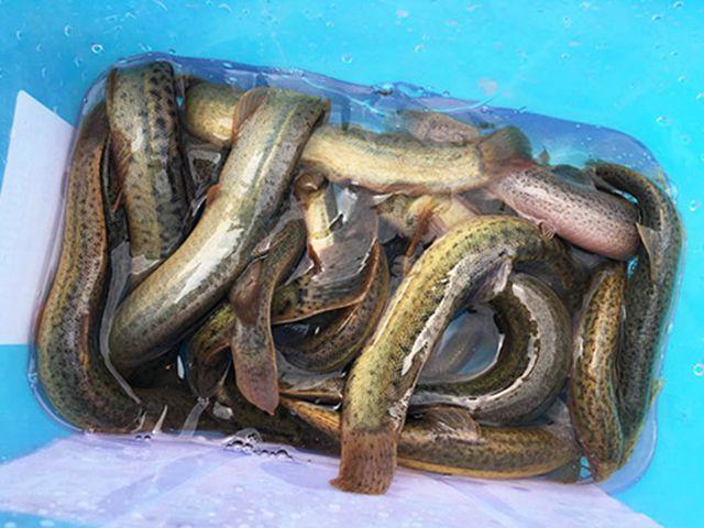 泥鳅苗的养殖技术_重庆特种养殖动物-永州市零陵区益众种养专业合作社