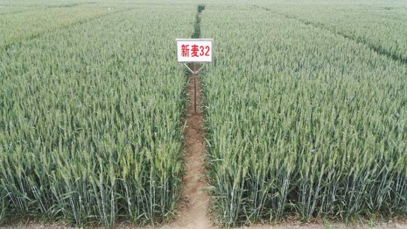 山农小麦种子_ 山农小麦厂家相关-河南省丰登种业有限公司