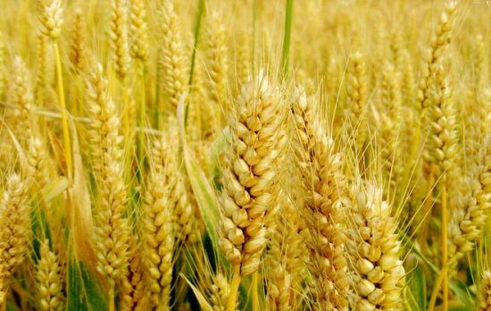 宝鸡矮抗山农小麦经营_ 山农小麦厂家直销相关-河南省丰登种业有限公司