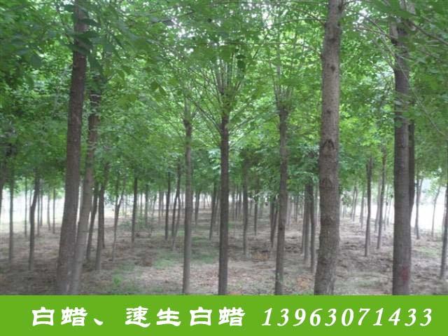 新疆速生柳树批发_速生多少钱一棵-滨州永信园林有限公司
