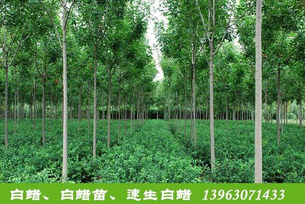 山东供应速生白蜡_速生白蜡出售相关-滨州永信园林有限公司