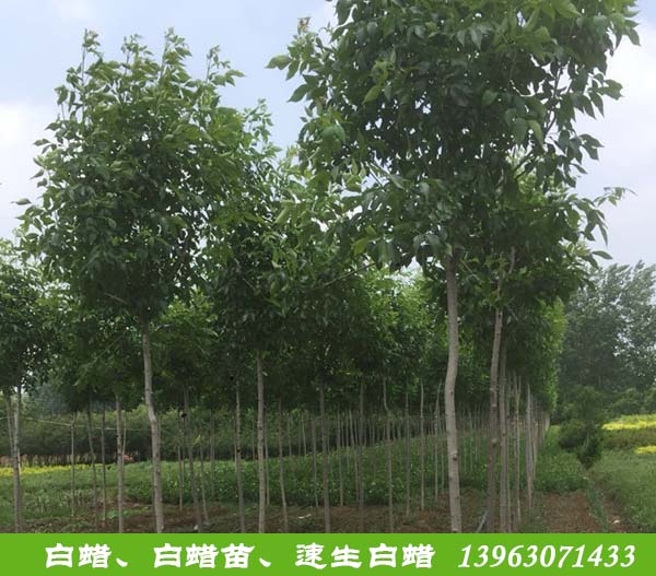 黑龙江柳树批发_苗价格-滨州永信园林有限公司