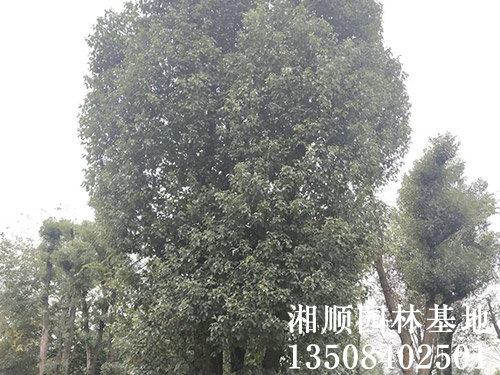 15公分香樟树基地_单杆-益阳市资阳区湘顺园林基地