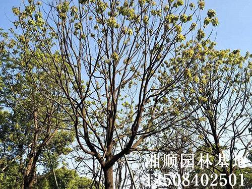 单杆香樟哪里有卖_单杆多少-益阳市资阳区湘顺园林基地