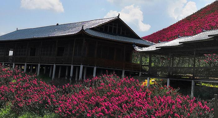 广西红叶石楠小苗_苗木红叶石楠相关-怀化市美景园林开发有限公司