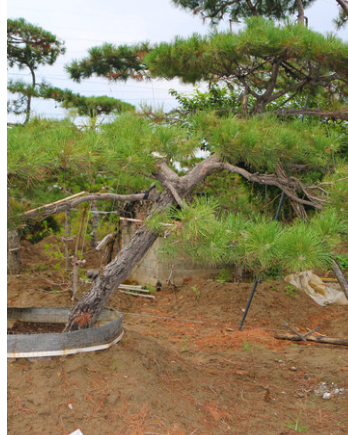 我们推荐泰安油松_ 油松多少钱相关-泰安市鼎晟园林绿化工程有限公司