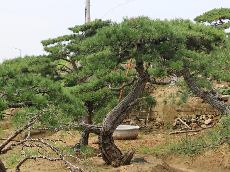 我们推荐黑松价格_黑松多少钱一棵相关-泰安市鼎晟园林绿化工程有限公司