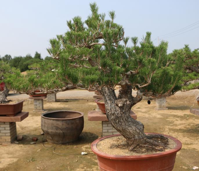 我们推荐油松成活率高批发_ 油松价格相关-泰安市鼎晟园林绿化工程有限公司