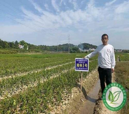 江西湘林210号油茶苗公司_质量好基地-攸县兴林油茶育苗专业合作社