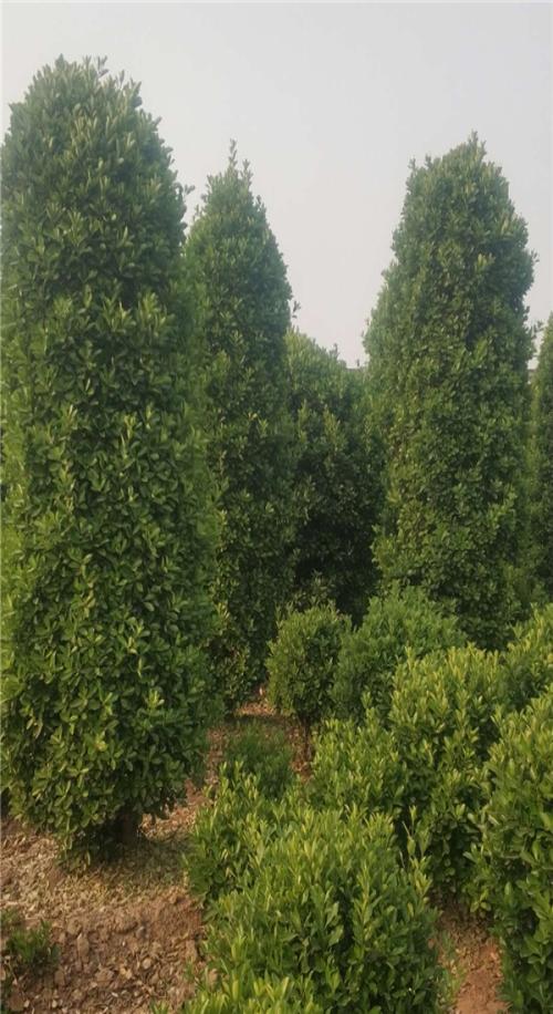 云南多规格大叶黄杨柱子多少钱_高度1.5米冠幅40公分-偃师市邙岭乡常绿苗圃