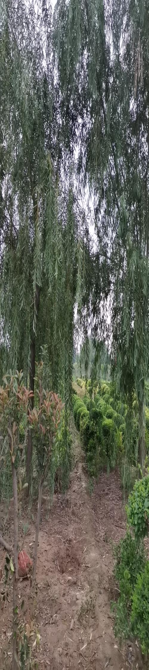 陕西青皮垂柳哪家好_绿化垂柳-长垣县华夏园林绿化有限公司