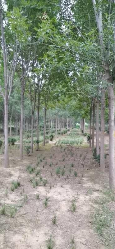 青海白蜡苗管理_绿化价格-长垣县华夏园林绿化有限公司